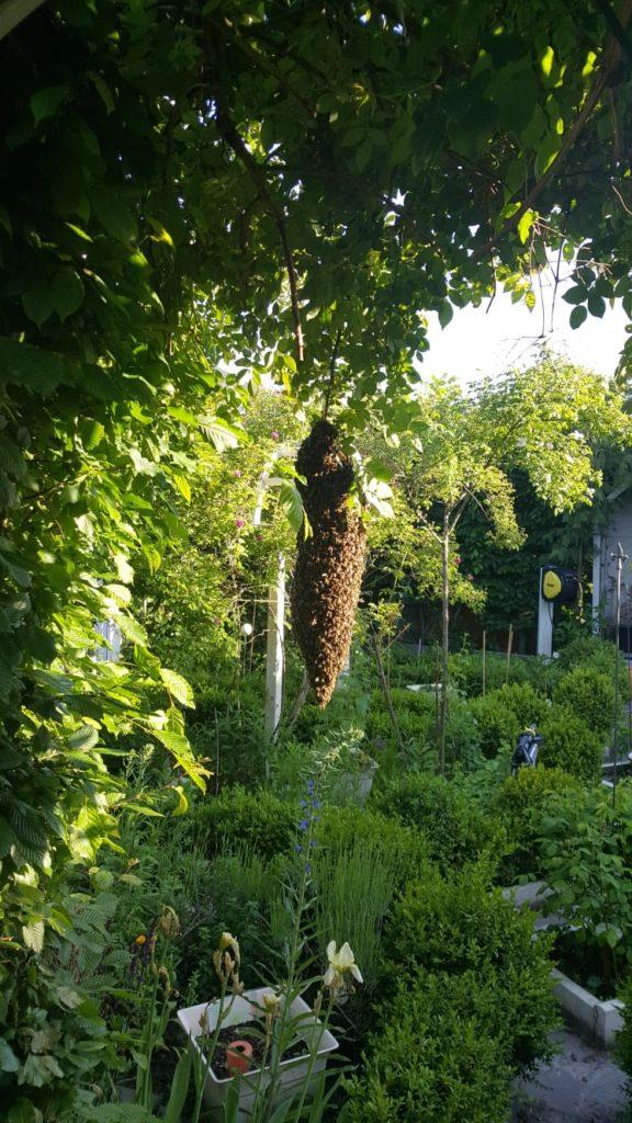 Bienenscharm